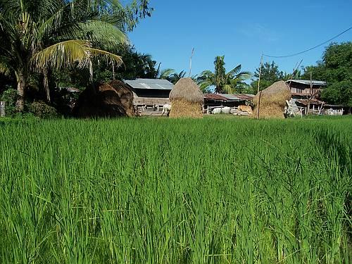 rijstvelden in Thailand